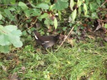 Moorhen by the River Sheaf