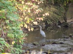 Heron on the River Sheaf