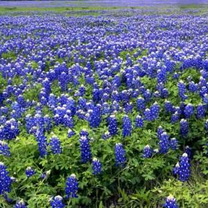 Texas-bluebonnets-field