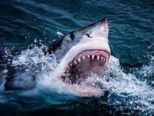 sharks-5